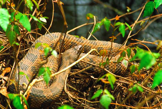 Water moccasin; Image ONLY