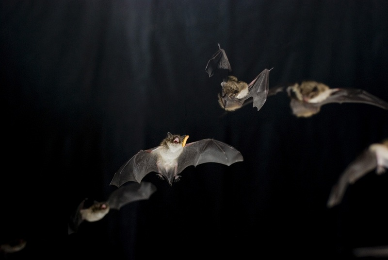 Superfast Muscles Help Bats Make High-Pitched Buzz [LiveScience 2011-09-29]; DISPLAY FULL IMAGE.