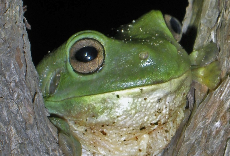 Desert Frogs 'Fog Up' to Collect Water [LiveScience 2011-09-30]; DISPLAY FULL IMAGE.