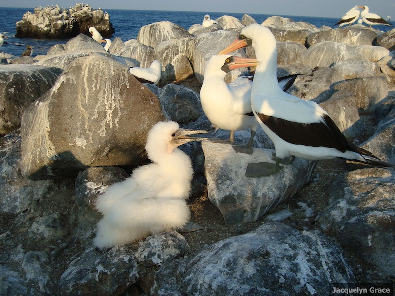 Booby Album: Images of Bullying Birds [LiveScience 2011-10-03]; Image ONLY