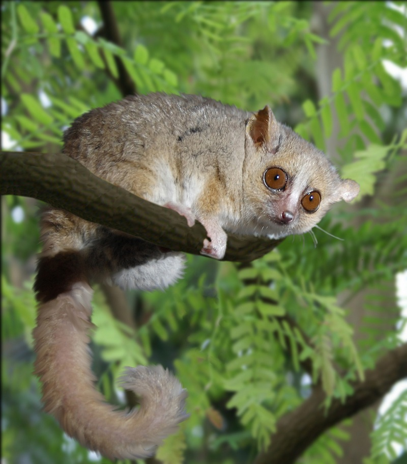 Female Lemurs Benefit From Multiple Mates, Study Suggests [LiveScience 2011-10-04]; Image ONLY