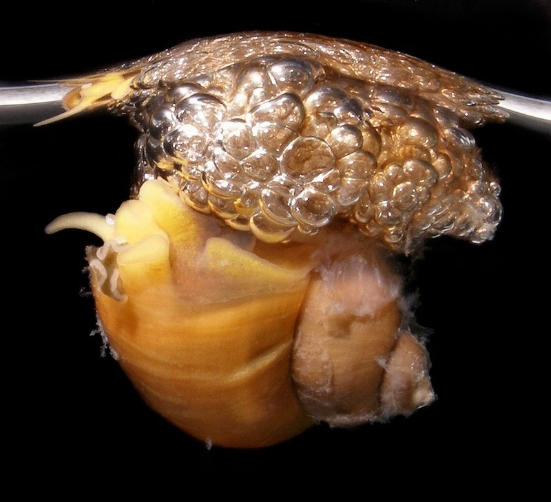 Amazing Mollusks: Images of Strange & Slimy Snails - Brown Bubble-Rafting Snail (Recluzia jehennei) [LiveScience 2011-10-10]; DISPLAY FULL IMAGE.