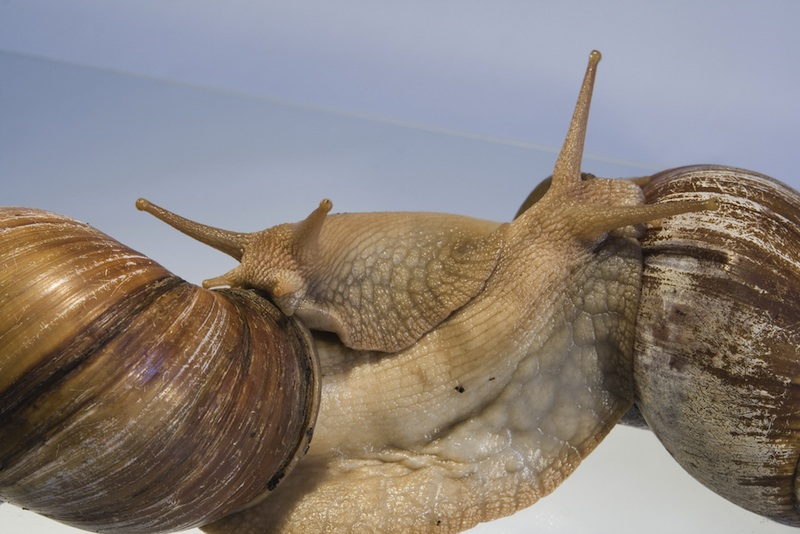 Amazing Mollusks: Images of Strange & Slimy Snails - giant African land snail (Achatina fulica) [LiveScience 2011-10-10]; Image ONLY