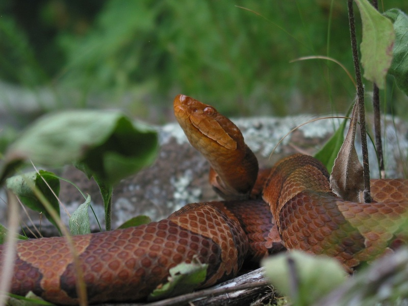 Virgin Birth Discovered in Pit Vipers [LiveScience 2011-10-17]; DISPLAY FULL IMAGE.