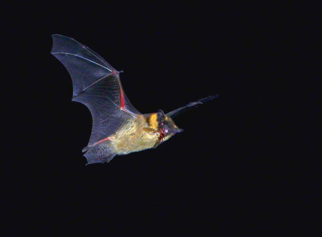 Northern bat (Eptesicus nilssonii); Image ONLY