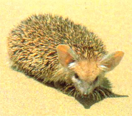 Long-eared hedgehog (Hemiechinus auritus); Image ONLY