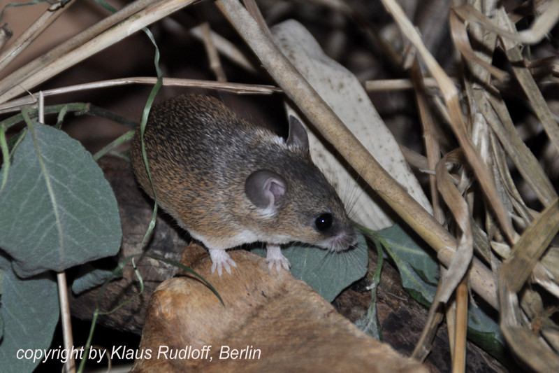 Southern African Dwarf Spiny Mouse - Acomys spinosissimus; DISPLAY FULL IMAGE.