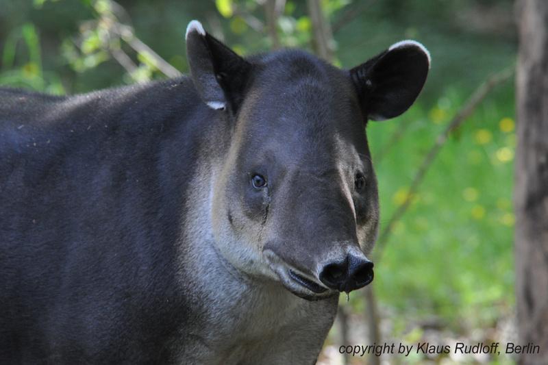 Tapirus-bairdi-Mittelamerika-Tapir-CottbusTP2011Mai!14-285.JPG