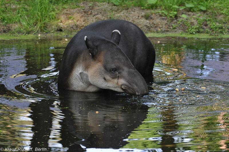 Tapirus-bairdi-Mittelamerika-Tapir-CottbusTP2011Mai!14-402.JPG
