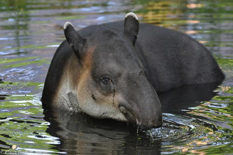Tapirus-bairdi-Mittelamerika-Tapir-CottbusTP2011Mai!14-418.JPG