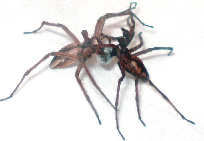 8-Legged Sex Trick? Spiders Give Worthless Gifts, Play Dead [LiveScience 2011-11-13]; Image ONLY