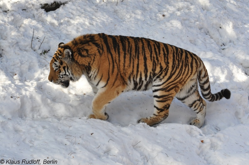Amur Tiger - Panthera tigris altaica; DISPLAY FULL IMAGE.