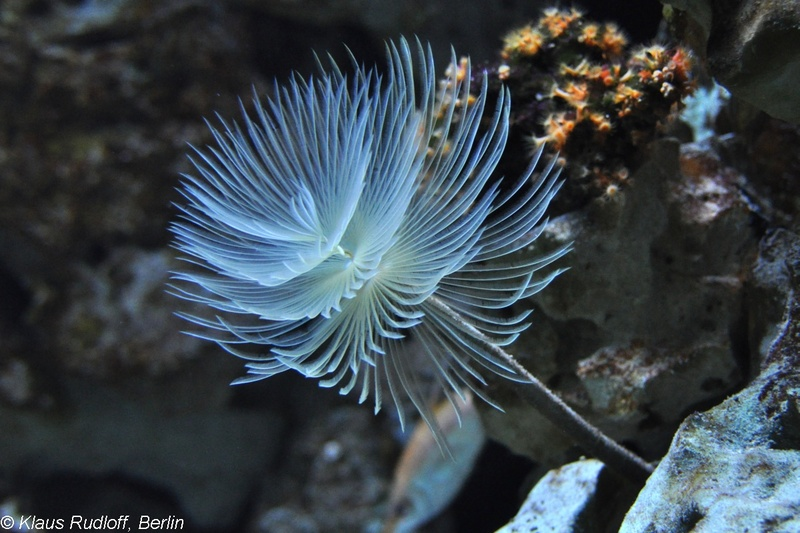 Spallanzani's Feather Duster Worm - Spirographis spallanzani; DISPLAY FULL IMAGE.