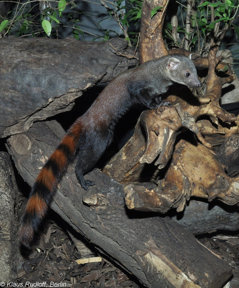 Malagasy Ring-tailed Mongoose - Galidia elegans elegans; DISPLAY FULL IMAGE.