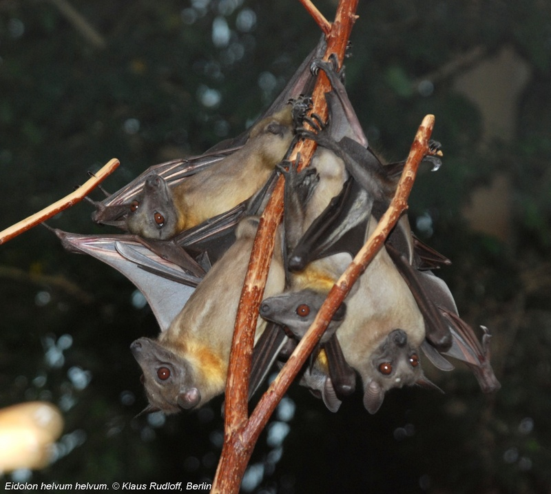 Straw-coloured Fruit Bat - Eidolon helvum helvum; DISPLAY FULL IMAGE.
