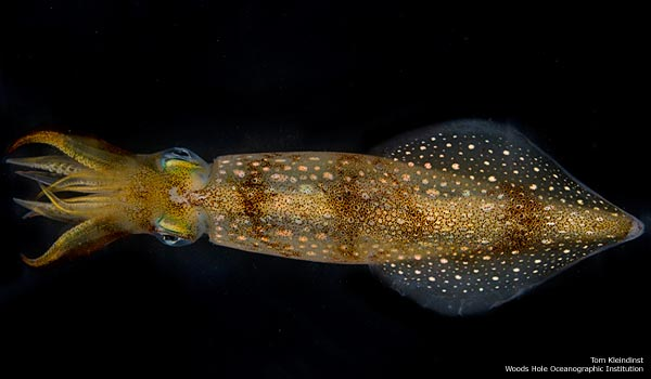 Under the Sea: A Squid Album - Longfin Squid (Loligo pealeii) [LiveScience 2011-11-17]; Image ONLY