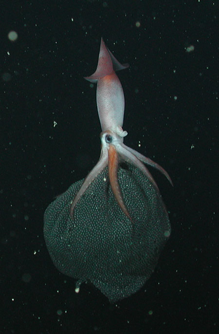 Under the Sea: A Squid Album - Clawed Armhook Squid (Gonatus onyx) [LiveScience 2011-11-17]; Image ONLY