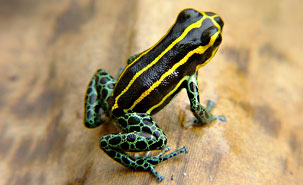 Frog Fake-Out: Gallery of Real & Decoy Amphibians - Yellow-striped Poison Frog (Dendrobates truncatus)  [LiveScience 2011-11-21]; Image ONLY