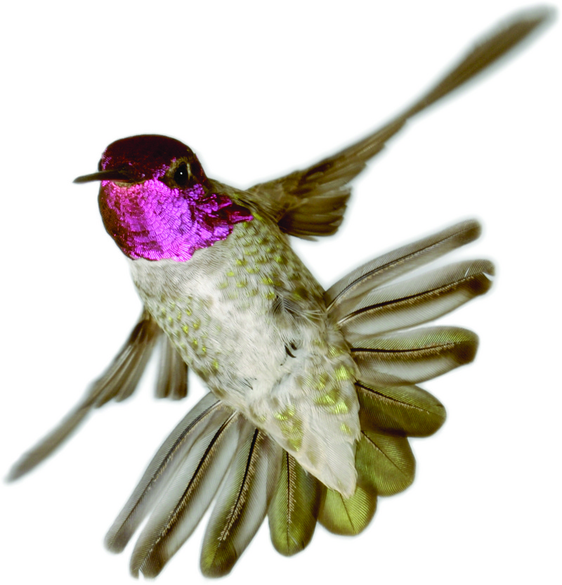 Aeroacoustics of Flight: 'Singing' Hummingbird Tails [LiveScience 2011-11-24]; DISPLAY FULL IMAGE.