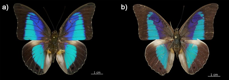 New Butterfly Species ID'ed by DNA [LiveScience 2011-11-28]; Image ONLY