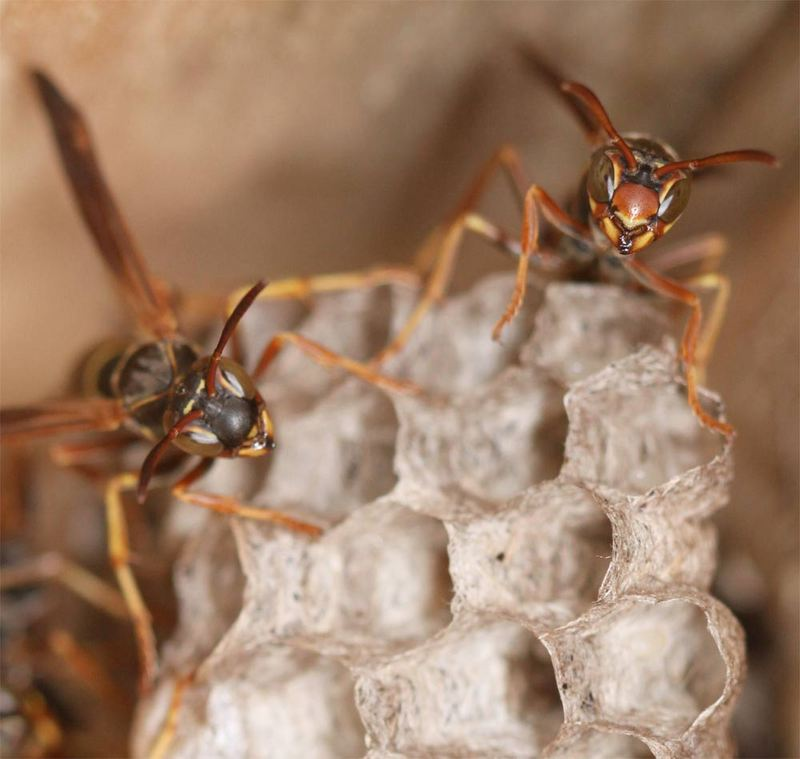 Googly Eyes: Photos of Striking Wasp Faces - Paper Wasp (Polistes fuscatus) [LiveScience 2011-12-01]; DISPLAY FULL IMAGE.