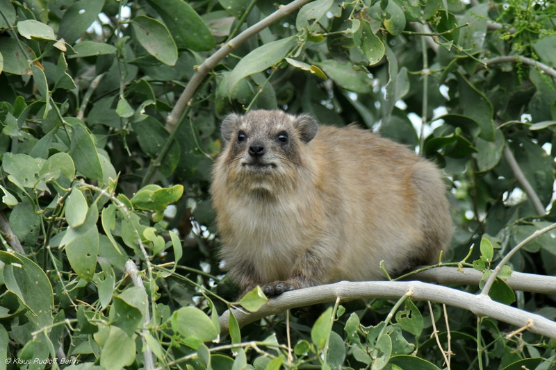 Syrian Rock Hyrax - Procavia capensis syriacus; DISPLAY FULL IMAGE.