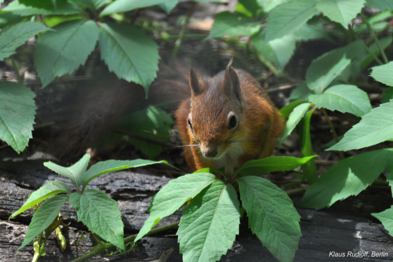 Eurasian Red Squirrel - Sciurus vulgaris; Image ONLY