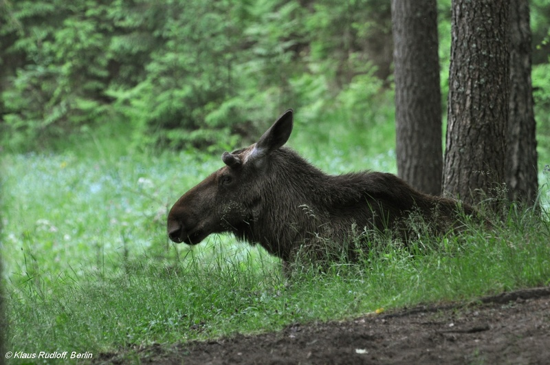 European Moose - Alces alces alces; DISPLAY FULL IMAGE.