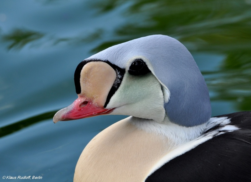 King Eider - Somateria spectabilis; DISPLAY FULL IMAGE.