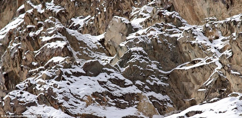 Masters of disguise (camouflage experts): Snow leopard (Uncia uncia) [Daily-Mail 2011-12-07]; DISPLAY FULL IMAGE.