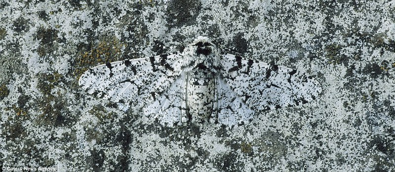 Masters of disguise (camouflage experts): Peppered moth (Biston betularia) [Daily-Mail 2011-12-07]; DISPLAY FULL IMAGE.