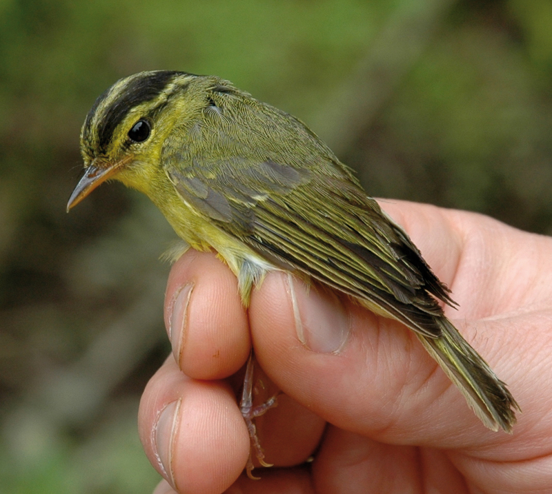Gallery: New Species of the Mekong - Limestone Leaf-warbler (Phylloscopus calciatilis) [LiveScience 2011-12-12]; DISPLAY FULL IMAGE.