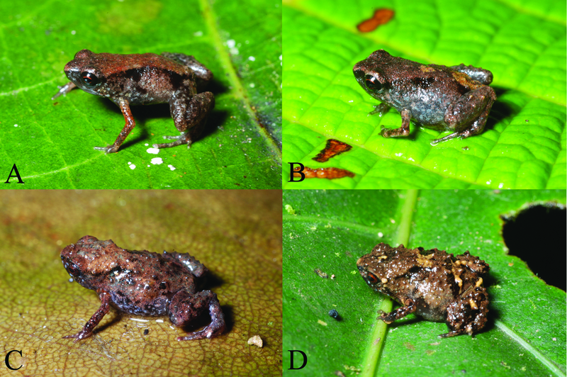 World's Smallest Frogs Tinier Than a Penny [LiveScience 2011-12-13]; DISPLAY FULL IMAGE.