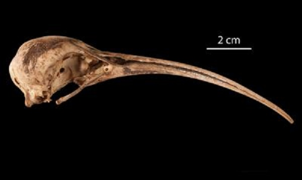 Fossil Feathers Paint New Image of Hawaiian Ibis [LiveScience 2011-12-14]; Image ONLY