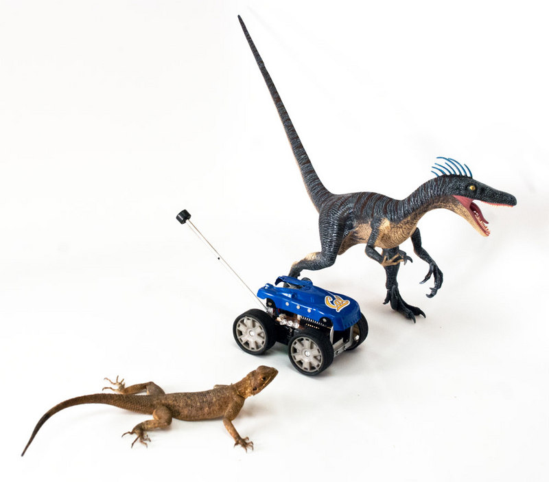 Image Gallery: Acrobatic Tricks of Lizards & Robots - Rainbow Agama (Agama agama) [LiveScience 2012-01-04]; DISPLAY FULL IMAGE.