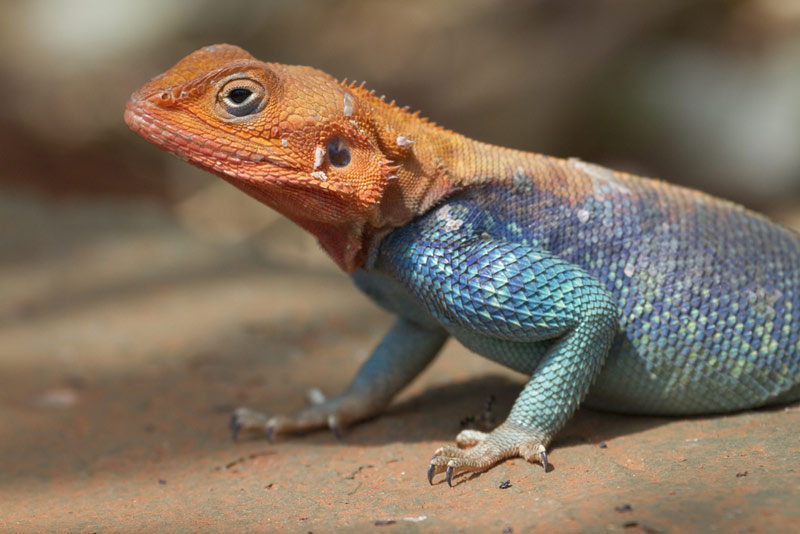Image Gallery: Acrobatic Tricks of Lizards & Robots - Rainbow Agama (Agama agama) [LiveScience 2012-01-04]; Image ONLY