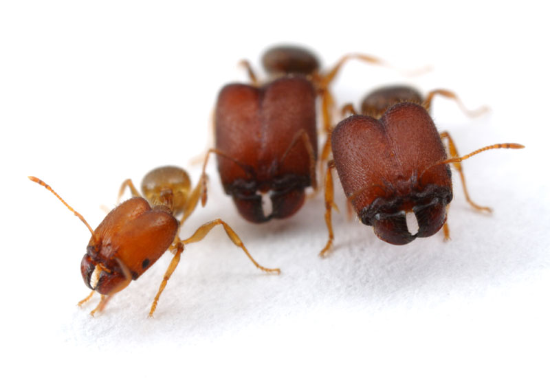 Scientists Make Supersoldier Ants [LiveScience 2012-01-05]; Image ONLY