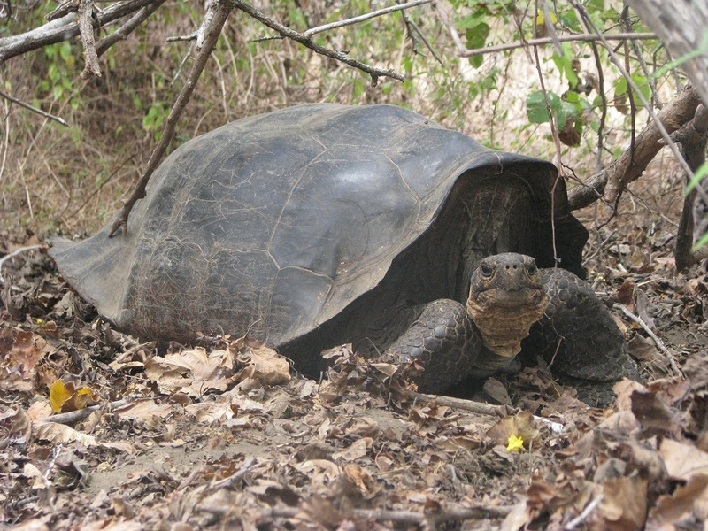 'Extinct' Galapagos Tortoise Reappears [LiveScience 2012-01-09]; DISPLAY FULL IMAGE.