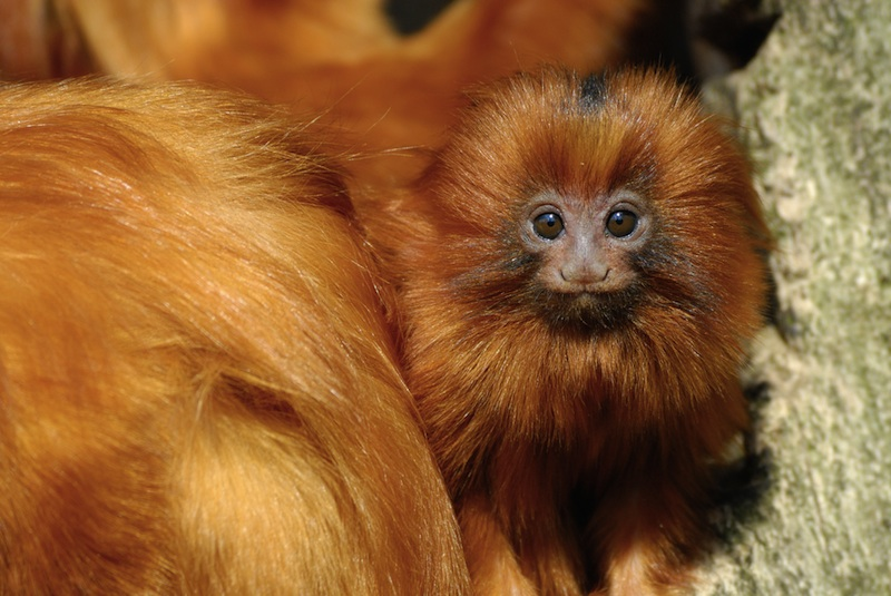 Gallery: Monkey Mug Shots - Golden Lion Tamarin [LiveScience 2012-01-10]; Image ONLY