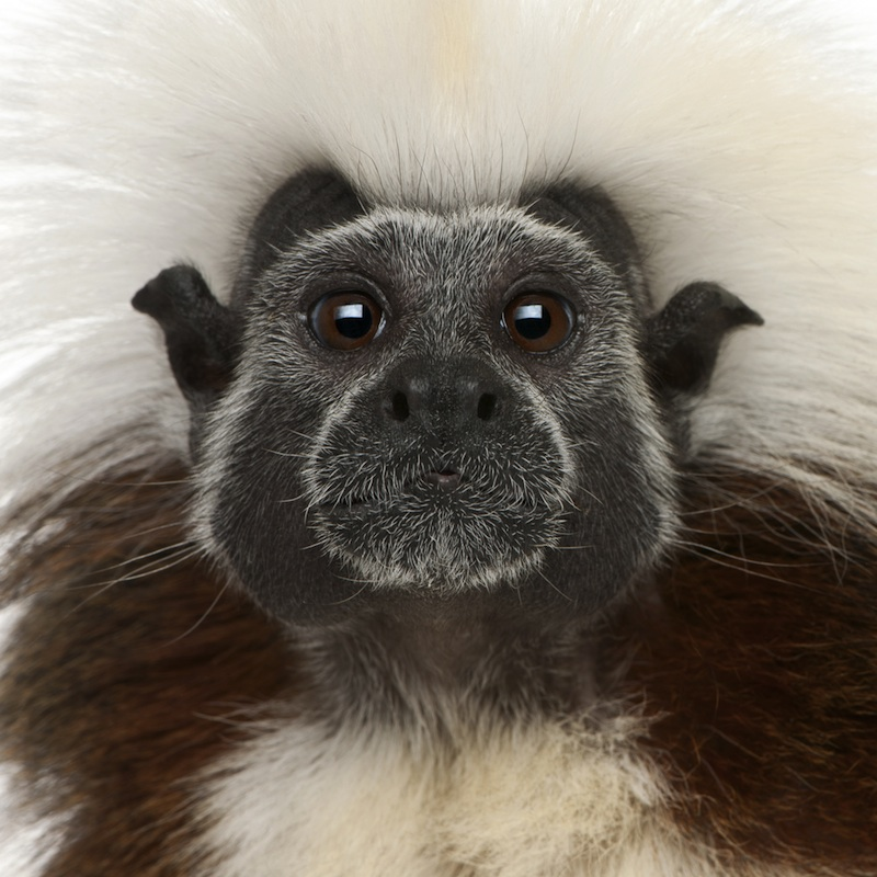Gallery: Monkey Mug Shots - Cottontop Tamarin [LiveScience 2012-01-10]; Image ONLY