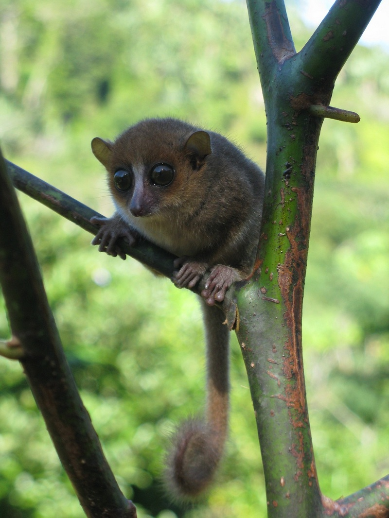 New Lemur Climbs out of Hiding in Madagascar - Gerp's mouse lemur (Microcebus gerpi) [LiveScience 2012-01-11]; DISPLAY FULL IMAGE.