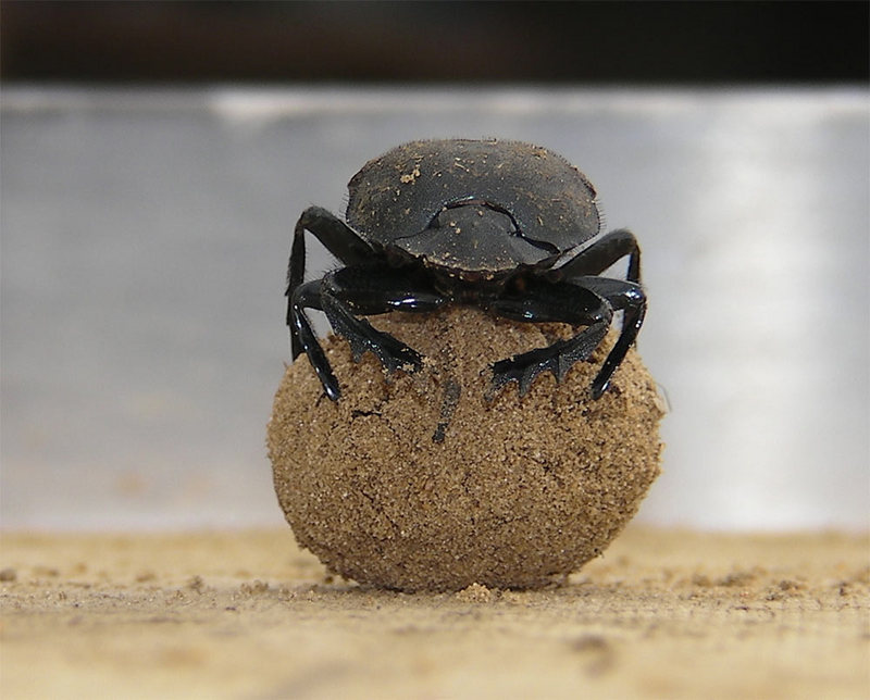 Dung Beetles Dance on Poo for Celestial Navigation [Livescience 2012-01-17]; DISPLAY FULL IMAGE.