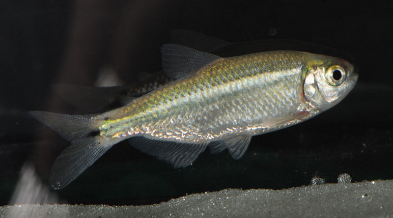 In Images: The Extraordinary Evolution of 'Blind' Cavefish - Mexican tetra or Blind Cave Fish (Astyanax mexicanus) [Livescience 2012-01-23]; DISPLAY FULL IMAGE.
