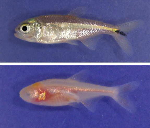 In Images: The Extraordinary Evolution of 'Blind' Cavefish - Mexican tetra or Blind Cave Fish (Astyanax mexicanus) [Livescience 2012-01-23]; Image ONLY