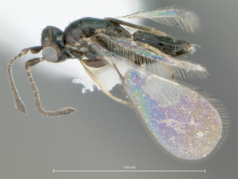 Fairyfly Wasp Prospers After Sneaking into US [LiveScience 2012-01-24]; Image ONLY