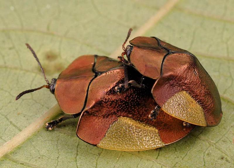New Species Gallery: Expedition into Suriname's Jungles - Tortoise Beetle (Cyrtonota lateralis) [LiveScience 2012-01-24]; DISPLAY FULL IMAGE.