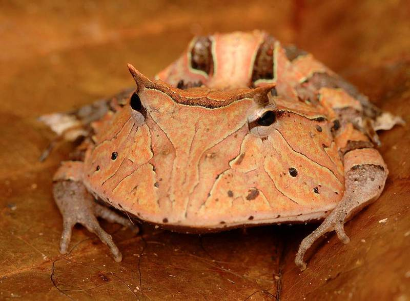 New Species Gallery: Expedition into Suriname's Jungles - Pac-Man Frog (Ceratophrys cornuta) [LiveScience 2012-01-24]; DISPLAY FULL IMAGE.