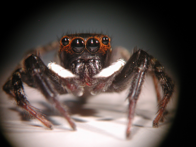 Jumping Spiders' Unique Vision Revealed [LiveScience 2012-01-26]; DISPLAY FULL IMAGE.