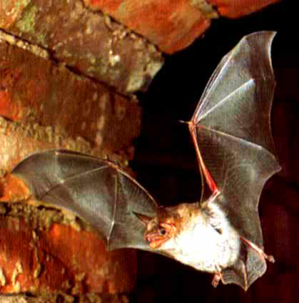 Greater mouse-eared bat (Myotis myotis); Image ONLY