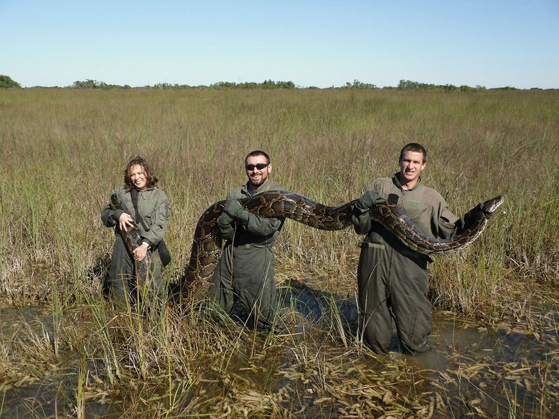 'Dumped' Pythons Put Squeeze on Everglades Wildlife [LiveScience 2012-01-30]; DISPLAY FULL IMAGE.